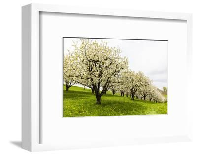 Blossoming Cherry Trees on a Meadow, Spring, Winersingen, Basel Country, Switzerland, Alps