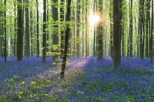 European Beech Forest (Fagus Sylvatica) and Bluebells (Hyacinthoides Non-Scripta) in the Backlight by P. Kaczynski