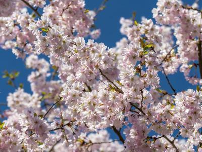 Cherry Tree in Full Blossom, Munich, Germany, Europe