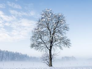 Single Tree in Snow-Covered Winter Scenery, Bavarians, Germany, Euroa by P. Widmann
