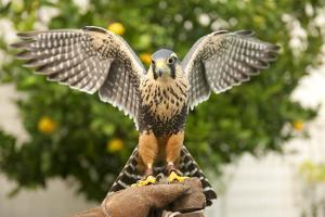 Aplomado Falcon (Falco Femoralis), Falconry, Argentina, South America by Pablo Cersosimo