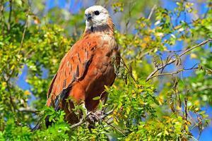 Black collared hawk (Busarellus Nigricoli), Pantanal, Mato Grosso, Brazil, South America by Pablo Cersosimo