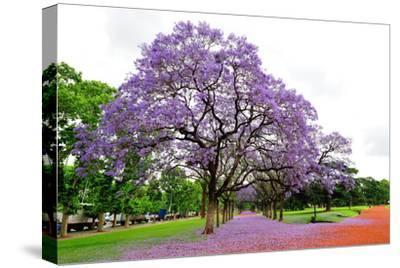 Jacaranda Tree (Jacaranda Mimosifolia), Buenos Aires City, Argentina, South America