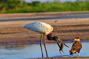 Jaribu stork (Jaribu Mycteria), Pantanal, Mato Grosso, Brazil, South America by Pablo Cersosimo