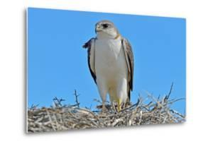 Red Backed Hawk (Buteo Polyosoma) with Her Chick on the Nest, Peninsula Valdes, Patagonia by Pablo Cersosimo