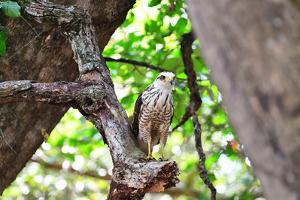 Roadside Hawk (Buteo Magnirostris) juvenile, Pantanal, Mato Grosso, Brazil, South America by Pablo Cersosimo