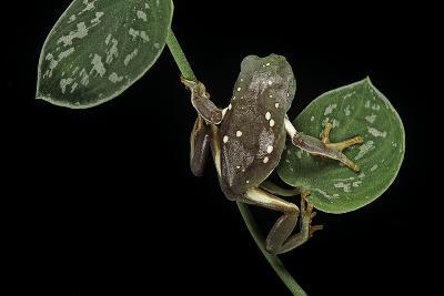 Pachymedusa Dacnicolor (Mexican Leaf Frog)-Paul Starosta-Photographic Print