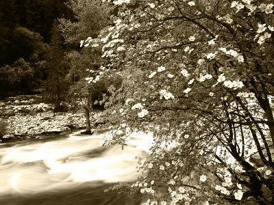 Pacific Dogwood Tree, Merced River, Yosemite National Park, California, USA-Adam Jones-Photographic Print