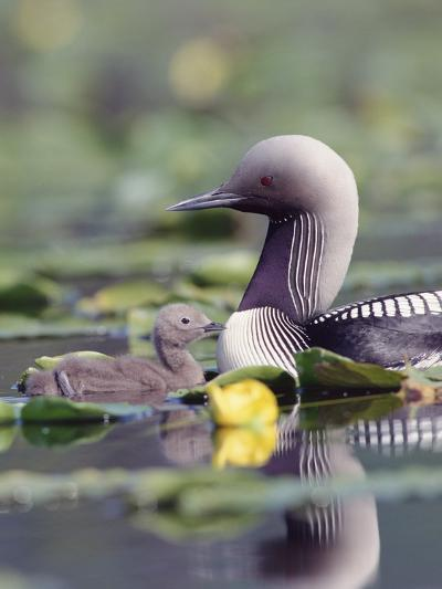 Pacific Loon (Gavia Pacifica) Parent and Chick Swimming Among Water Lilies-Michael S^ Quinton-Photographic Print