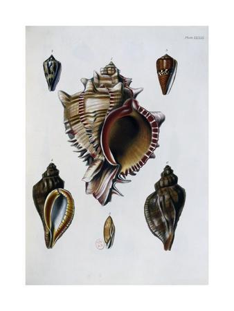 https://imgc.artprintimages.com/img/print/pacific-shells-1-murex-brassica_u-l-puz1hz0.jpg?p=0