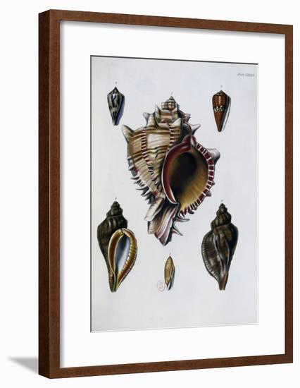 Pacific Shells: 1 Murex Brassica--Framed Giclee Print