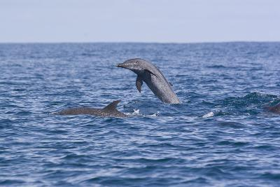 Pacific Spotted Dolphins, Stenella Attenuata, Swim Off the Coast of Costa Rica-Gabby Salazar-Photographic Print