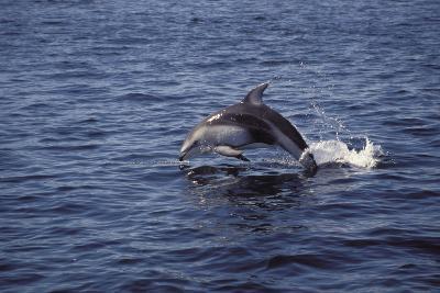 Pacific White Sided Dolphin Johnston Strait Vancouver Island Canada-Design Pics Inc-Photographic Print
