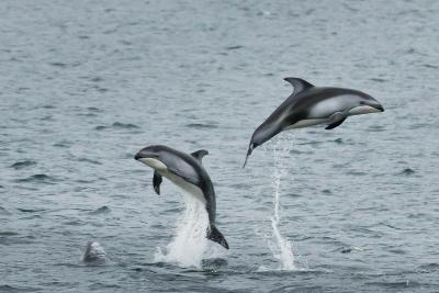 Pacific White-Sided Dolphins Jump Out of the Ocean-Ralph Lee Hopkins-Photographic Print