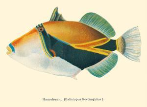 HumuHumu (Balistapus Rectangulus) - Hawaiian Reef Triggerfish by Pacifica Island Art