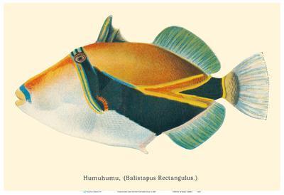 HumuHumu (Balistapus Rectangulus) - Hawaiian Reef Triggerfish
