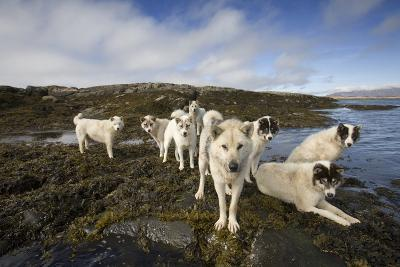 Pack of Sled Dogs--Photographic Print