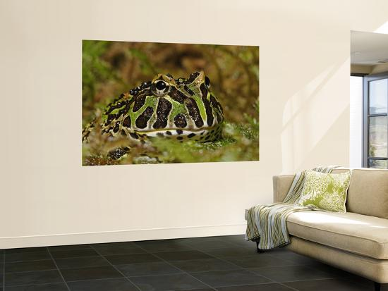 Pacman Frog Or South American Horned Frog-Adam Jones-Wall Mural