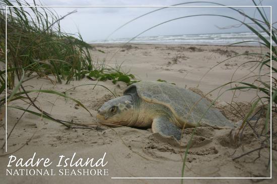 Padre Island National Seashore - Kemp's Ridley Sea Turtle Hatching-Lantern Press-Art Print