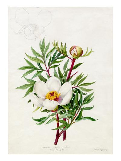 Paeonia clusii-Lilian Snelling-Giclee Print