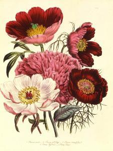 Paeonia Edulis, c.1800
