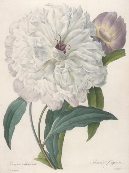 Paeonia Flagrans (Peony), 1827-Pierre Joseph Redoute-Giclee Print