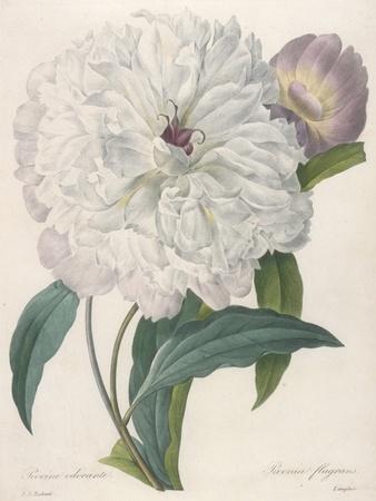 https://imgc.artprintimages.com/img/print/paeonia-flagrans-peony-1827_u-l-pura490.jpg?p=0