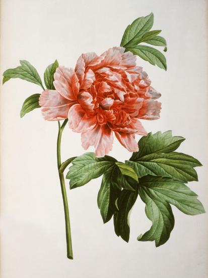 Paeonia Moutan or Peony, from Plantes Rares a Malmaison-Pierre-Joseph Redout?-Giclee Print