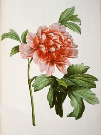 https://imgc.artprintimages.com/img/print/paeonia-moutan-or-peony-from-plantes-rares-a-malmaison_u-l-p93r880.jpg?p=0