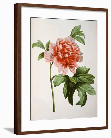 Paeonia Moutan or Peony, from Plantes Rares a Malmaison-Pierre-Joseph Redouté-Framed Giclee Print