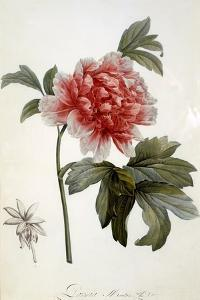 Paeonia Moutan, Published 1799