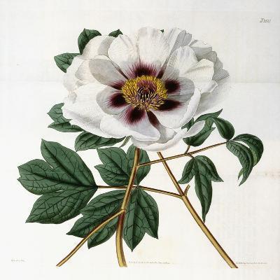 Paeonia Suffruticosa Andr. Var. Papaveracea, 1788-1896--Giclee Print