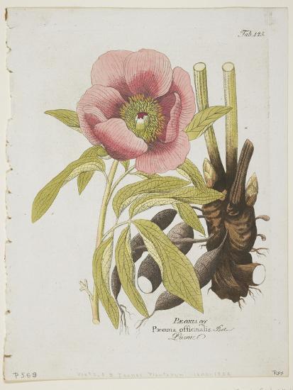 Paeonie-Ferdinand Bernhard Vietz-Giclee Print