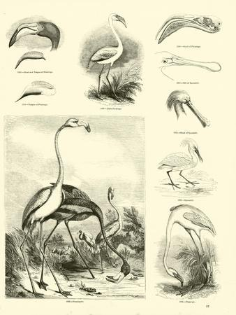 Page from the Pictorial Museum of Animated Nature--Giclee Print