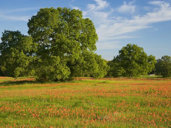 Paint Brush in Fields Near Gay Hill, Texas, USA-Darrell Gulin-Photographic Print