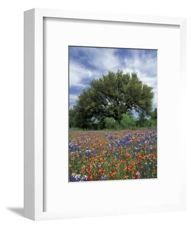 Paintbrush And Bluebonnets And Live Oak Tree Marble Falls