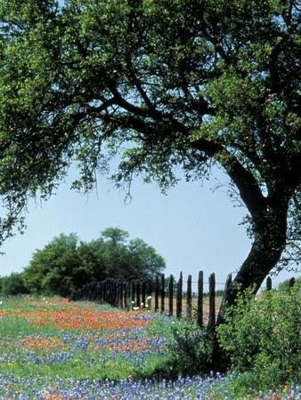 https://imgc.artprintimages.com/img/print/paintbrush-and-bluebonnets-texas-hill-country-texas-usa_u-l-pxpm0l0.jpg?p=0