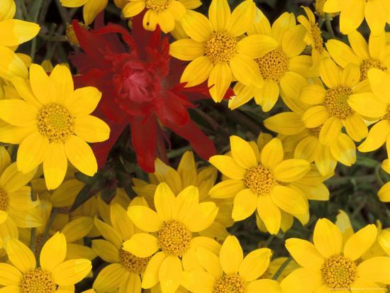 Paintbrush and Yellow Daisies, Box Canyon Creek, Cascades, Washington, USA-Darrell Gulin-Photographic Print