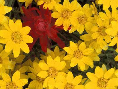 https://imgc.artprintimages.com/img/print/paintbrush-and-yellow-daisies-box-canyon-creek-cascades-washington-usa_u-l-p4lv5v0.jpg?p=0