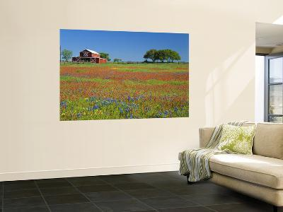 Paintbrush Flowers and Red Barn in Field, Texas Hill Country, Texas, USA-Adam Jones-Wall Mural