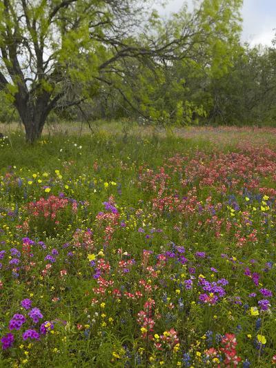 Paintbrush, Phlox, Evening Primrose Meadow, Atascosa County, Texas, Usa-Tim Fitzharris-Photographic Print