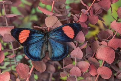 Painted Beauty Butterfly from the Amazon Region, Batesia Hypochlora-Darrell Gulin-Photographic Print