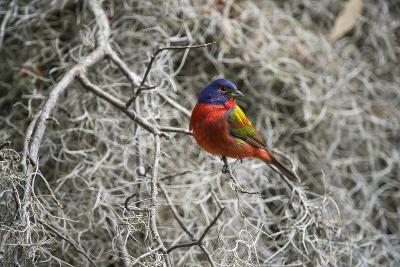 Painted Bunting, Little St Simons Island, Barrier Islands, Georgia-Pete Oxford-Photographic Print