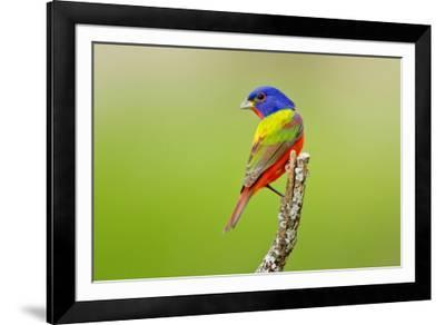 Painted Bunting male perched.-Larry Ditto-Framed Photographic Print