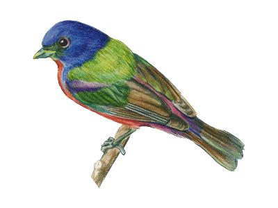 Painted Bunting (Passerina Ciris), Birds-Encyclopaedia Britannica-Art Print