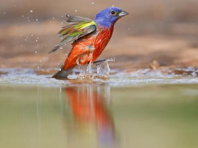 Painted Bunting, Texas, USA-Larry Ditto-Photographic Print