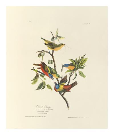 Painted Bunting-John James Audubon-Premium Giclee Print