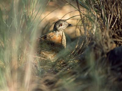 Painted Button-Quail, Turnix Varia Camouflaged in the Grass-Jason Edwards-Photographic Print