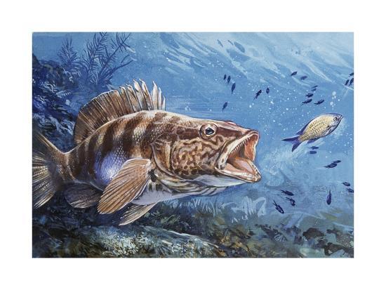 Painted Comber (Serranus Scriba), Serranidae--Giclee Print