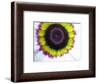 Painted daisy (Chrysanthemum carinatum)-Angela Marsh-Framed Photographic Print
